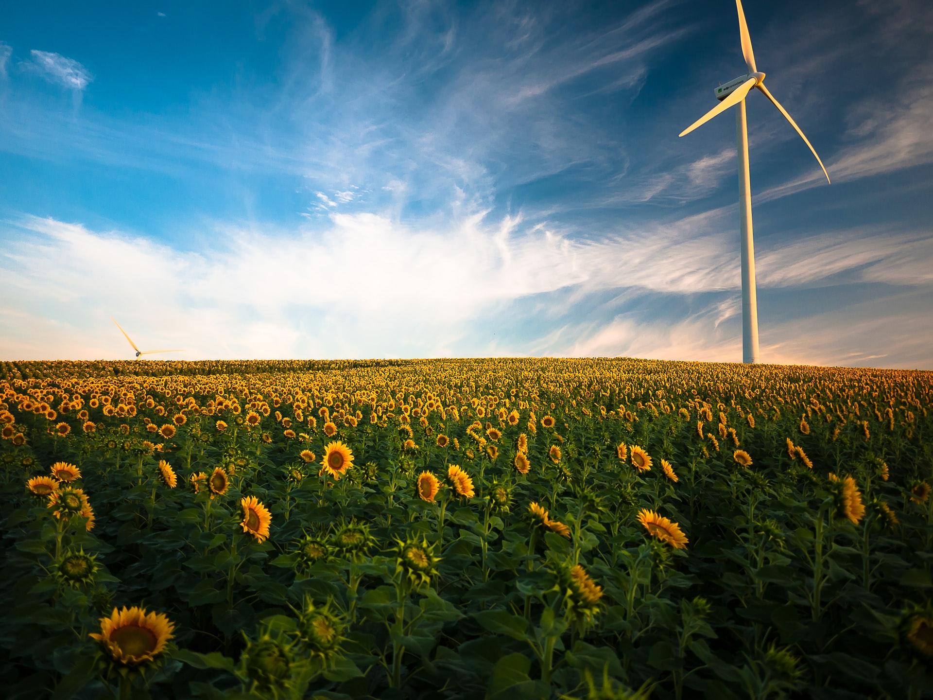 Wind turbines in sunflower field/ CC0 Gustavo Quepon