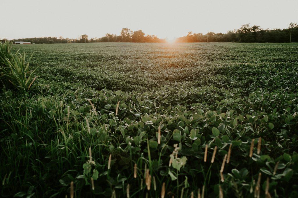 Soy field/ CC0 Meredith Petrick