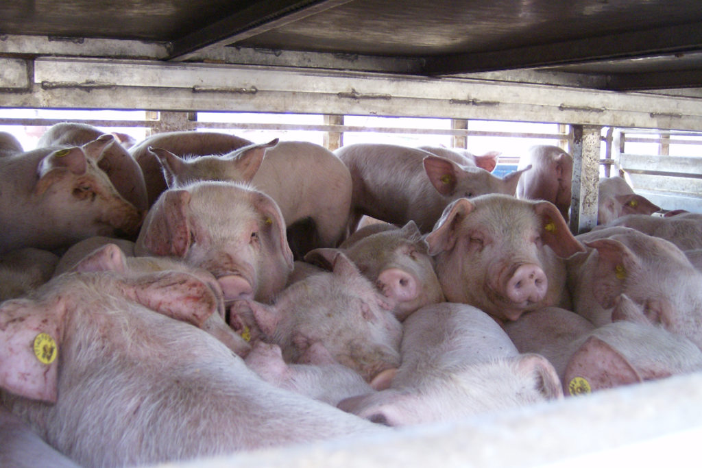 Pigs cramped in a lorry/ Izvora CC BY ASA 4.0